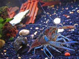 Pet Crayfish for Sale